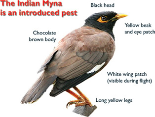Indentifying Indian Myna Birds